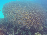 Video of a Ball of Bait Fish in Ngchus Cove, Palau