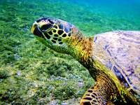 Images of Turtles, Oahu, Hawaii